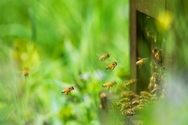 ミツバチが飛んでいる様子