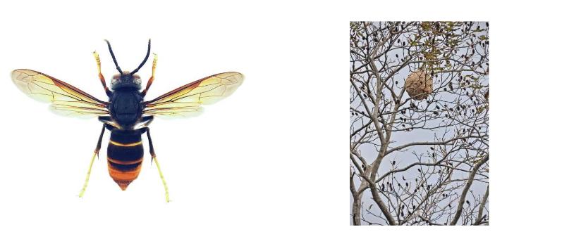 ツマアカスズメバチの画像