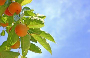 木に実る柿