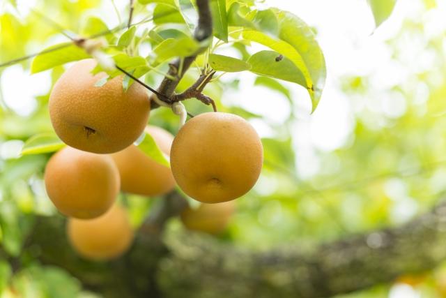 樹になる梨