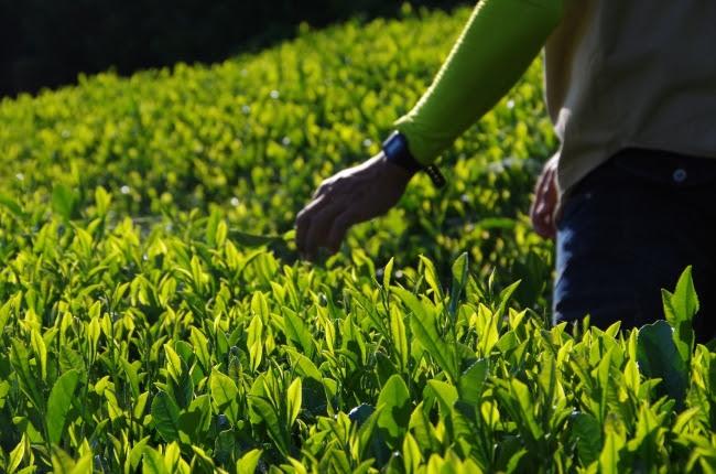 茶摘みの様子