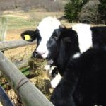 飼料を食べる牛