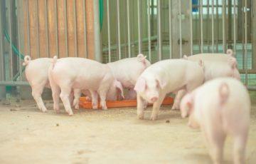 養豚の様子