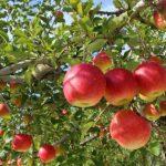 木になるリンゴ