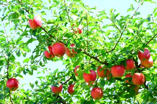 夏のリンゴ