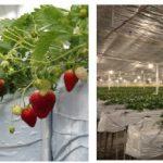 Iotを利用したイチゴ栽培